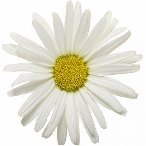 Daisy Matches